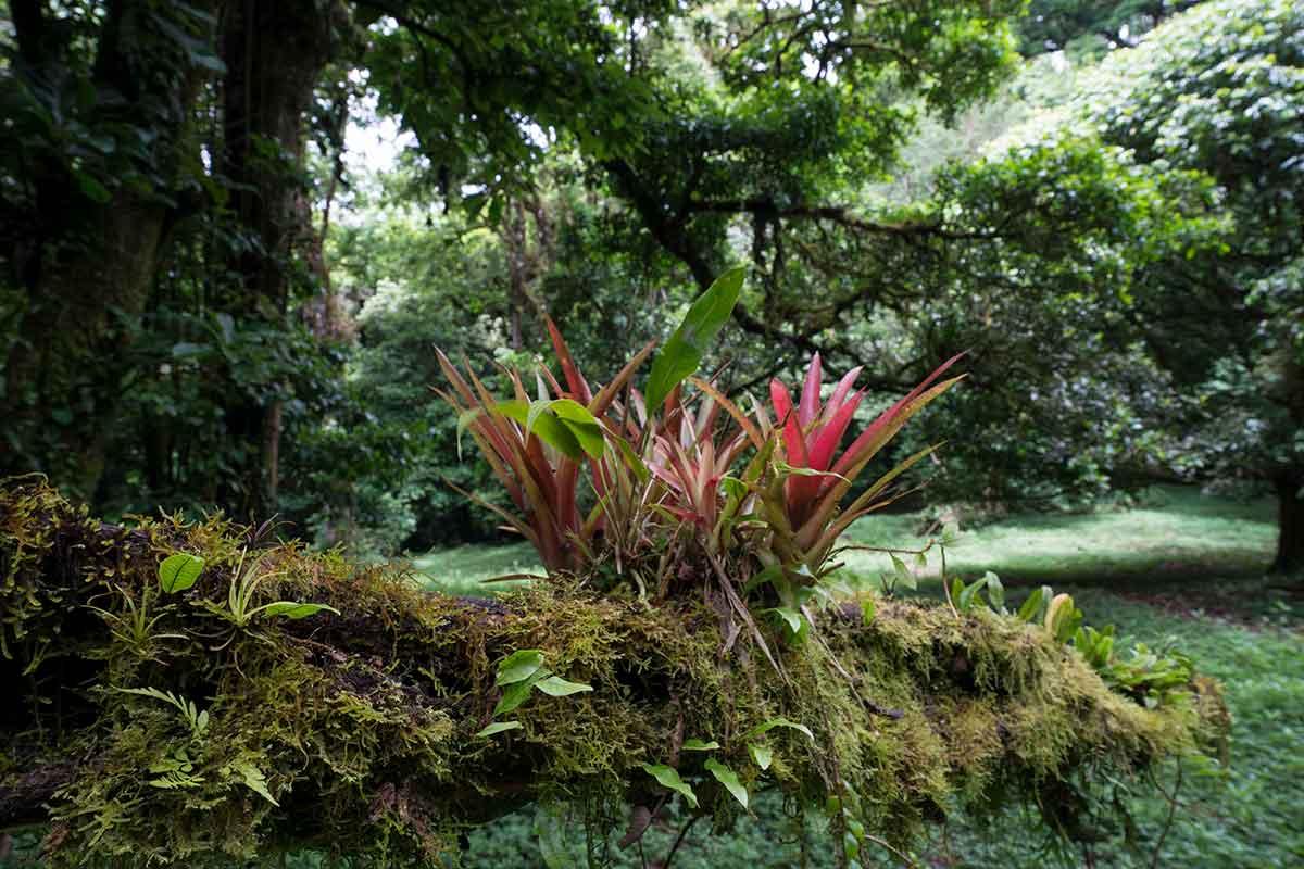 Costa Rican Bromeliad