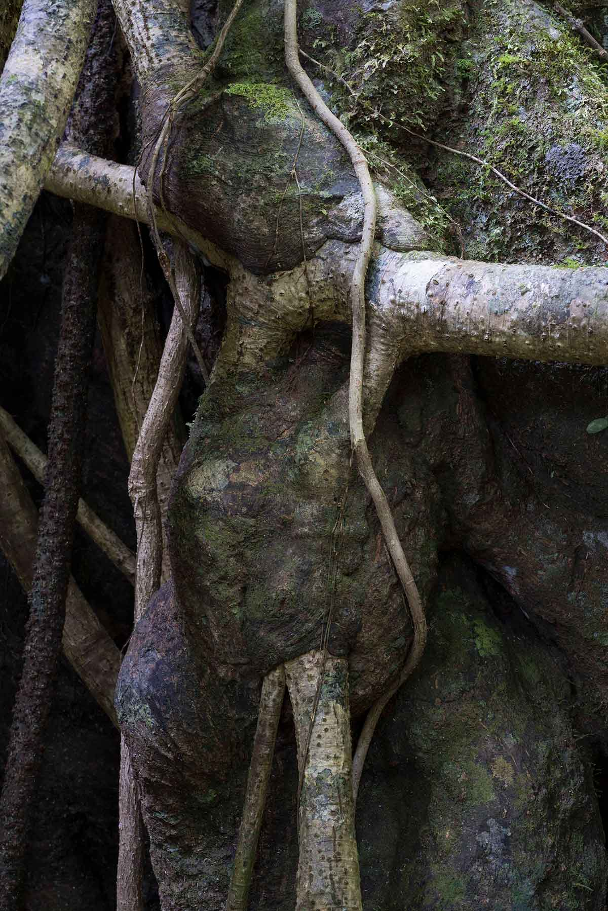 Costa Rican Strangler Fig